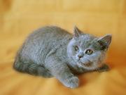Британские котята. Питомник Ольги Барсуковой