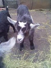 Продам козу дойную(1 окот)и козлят 2 месяца