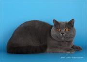 Британский кот приглашает на вязку