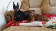 щенки цвергпинчера-маленькая собачка для всей семьи!