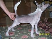 Продаются щенок Китайской хохлатой