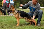 Продаю подрощенного  щенка немецкой овчарки(кобель)